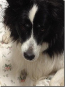 FOUND: Roaming Dog: Border Collie, Older, Black Collar - St. Marys University, Robie St., Hfx