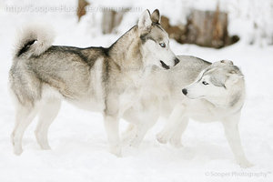 snow_dogs_0033_by_sooper_husky-d3am1b6