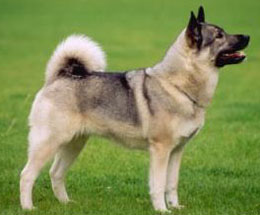 STOCKNorwegianElkhound