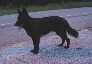found-black-shepard-dog-300x209