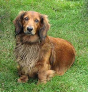 long-haired-dachshund