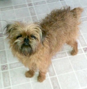 LOSTBrusselsGriffonMaleNewVictoriaCB11:6:13