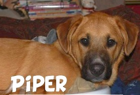 LOSTPiperLabMixFemale5MonthsHarmonyColchester2:18:14