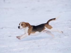 lynn-m-stone-beagle-running-through-snow-usa