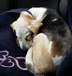 old-beagle-in-hectanoga
