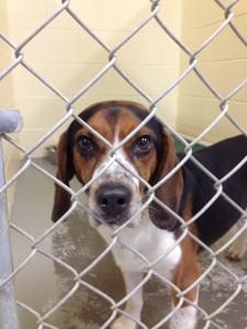 Beagle.SPCA