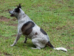 australian-cattle-dog-wallpapers-2