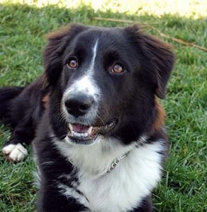 border-collie-mix-dogs-39