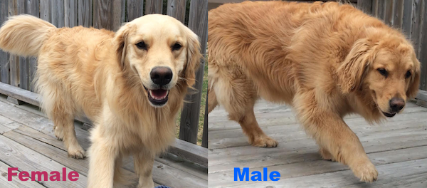 golden retrievers make better pets than Everyone loves golden retrievers -- of course they're usually gorgeous with goofy, lovely personalities but have you ever wondered what actually ma.