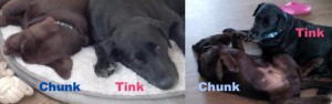 LOSTChunkChocLabMale6monthsTinkBlackLabFemale7yrsEarltownColchester5:15:15