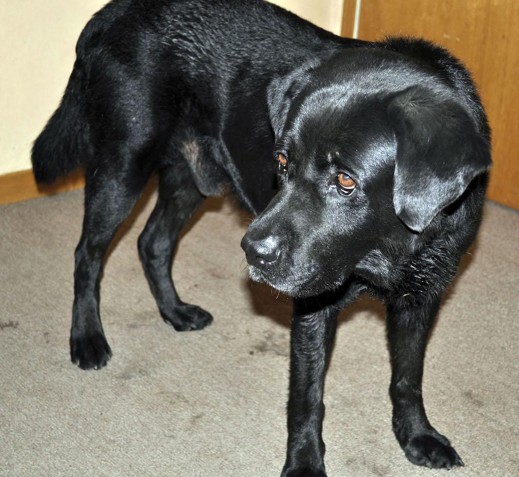 dog breeds newfoundland mix dog breed