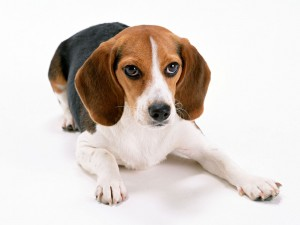 beagle-1