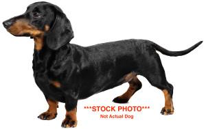 dachshund9