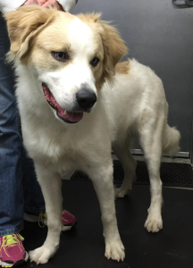 Think, golden pyrenees adult weight confirm. All