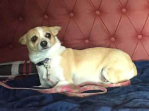lostmacychihuahuafemale3yrsbiblehillcolchester101416