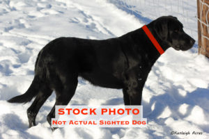 STOCKSIGHTEDBlackLabradorRetrieverMaleFemaleAdultWolfvilleKings121116