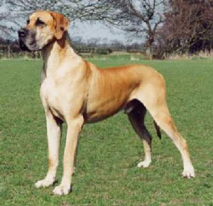 sighted roaming dog king st digby digby co ns dane mastiff